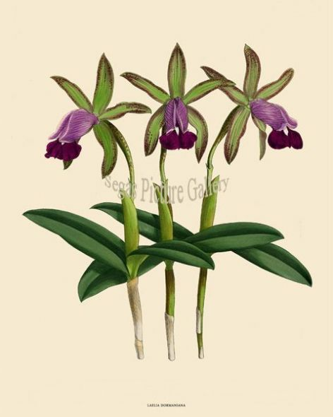 Fine art print of the Orchid Laelia Dormaniana by John Nugent Fitch